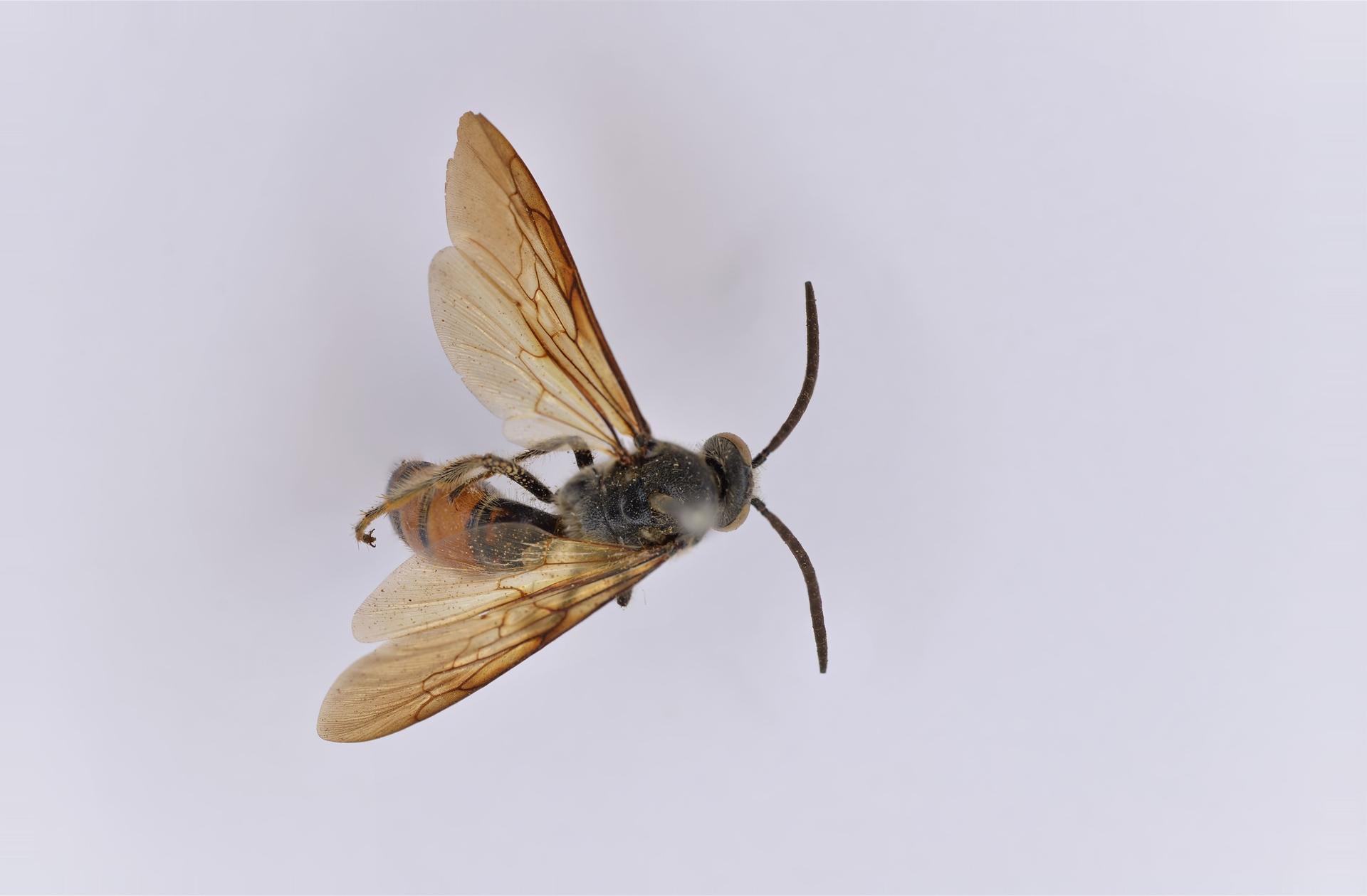 RMNH.INS.1283470 | Campsomeris bicolor Saussure, 1858