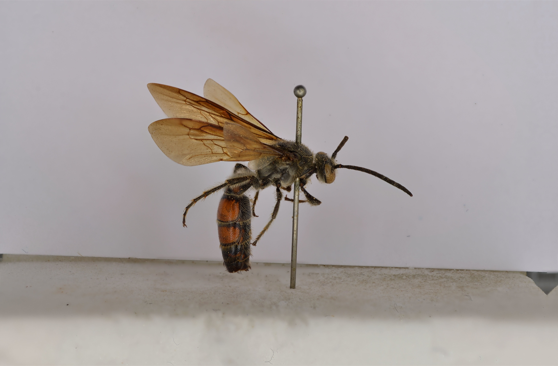 RMNH.INS.1283471 | Campsomeris bicolor Saussure, 1858