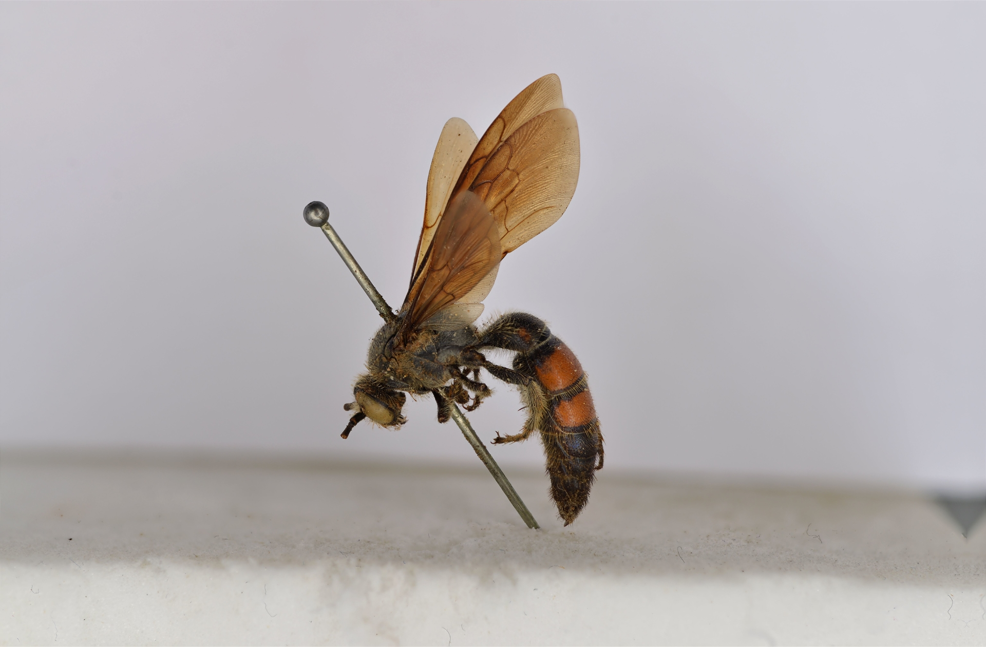RMNH.INS.1283472 | Campsomeris bicolor Saussure, 1858