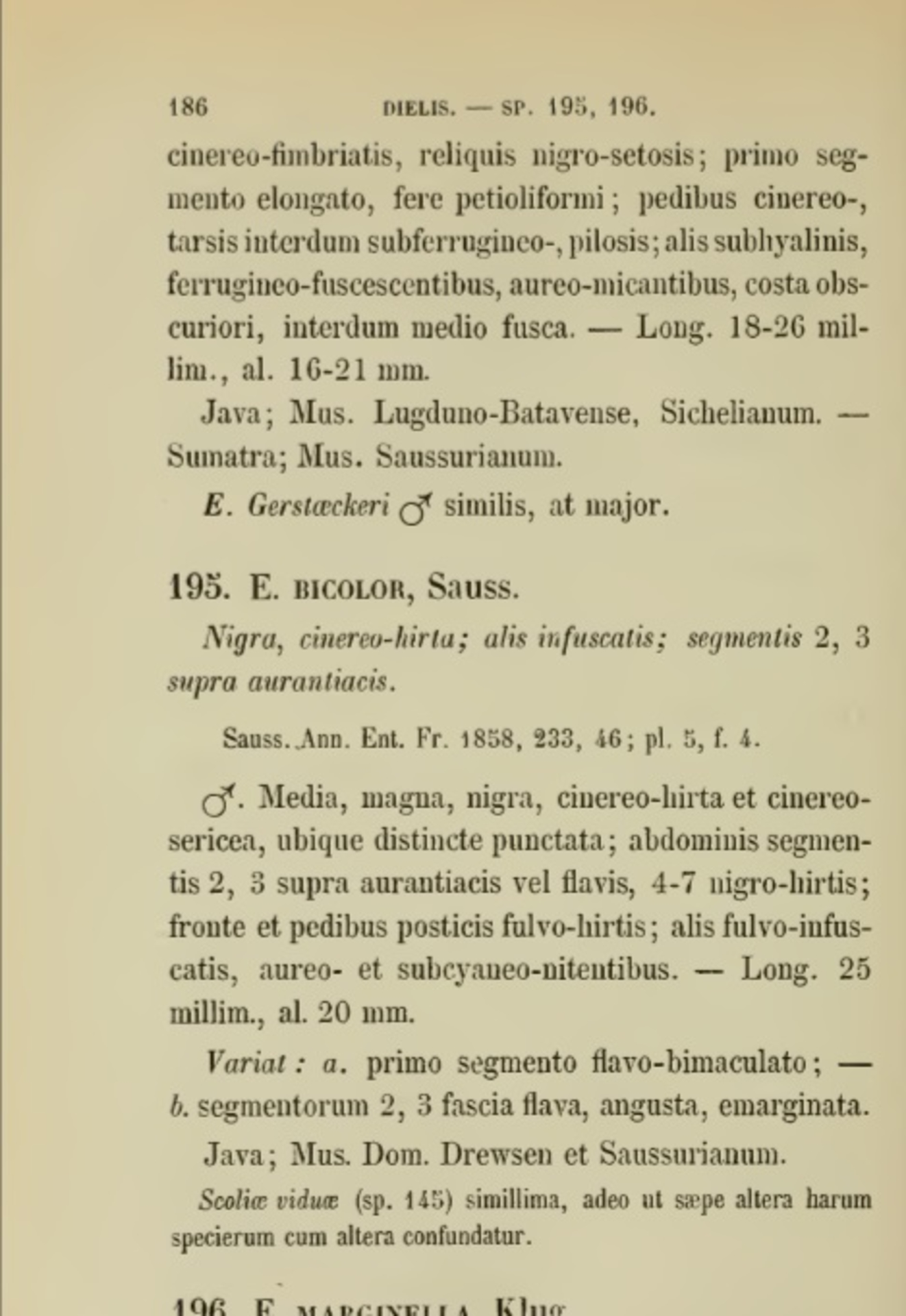 RMNH.INS.1283474   Campsomeris bicolor Saussure, 1858