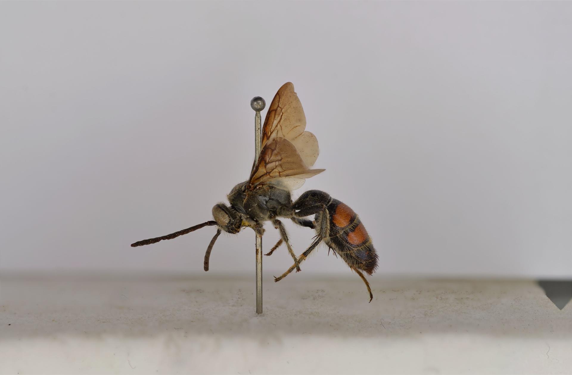 RMNH.INS.1283475   Campsomeris bicolor Saussure, 1858
