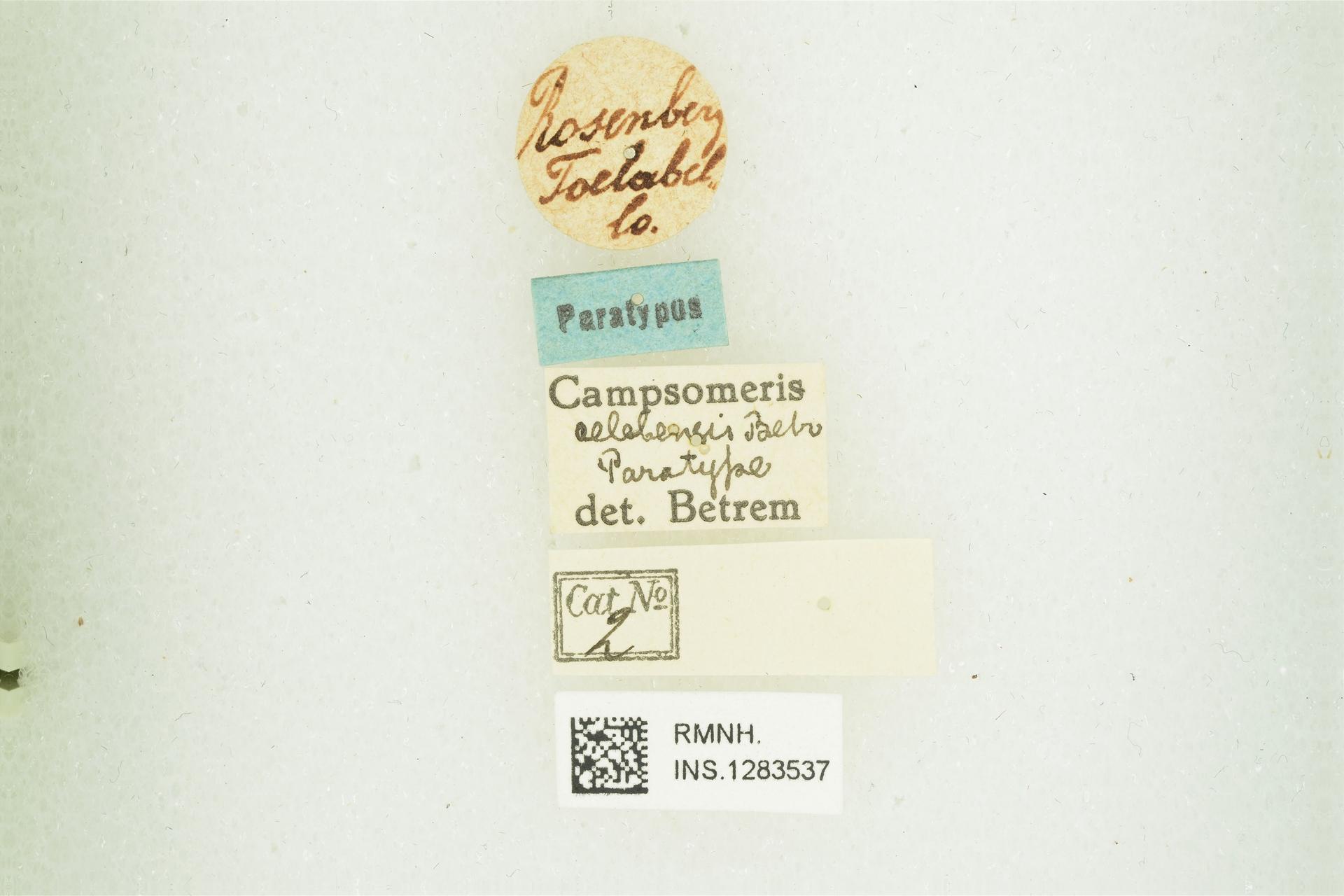 RMNH.INS.1283537   Campsomeris celebensis Betrem, 1928