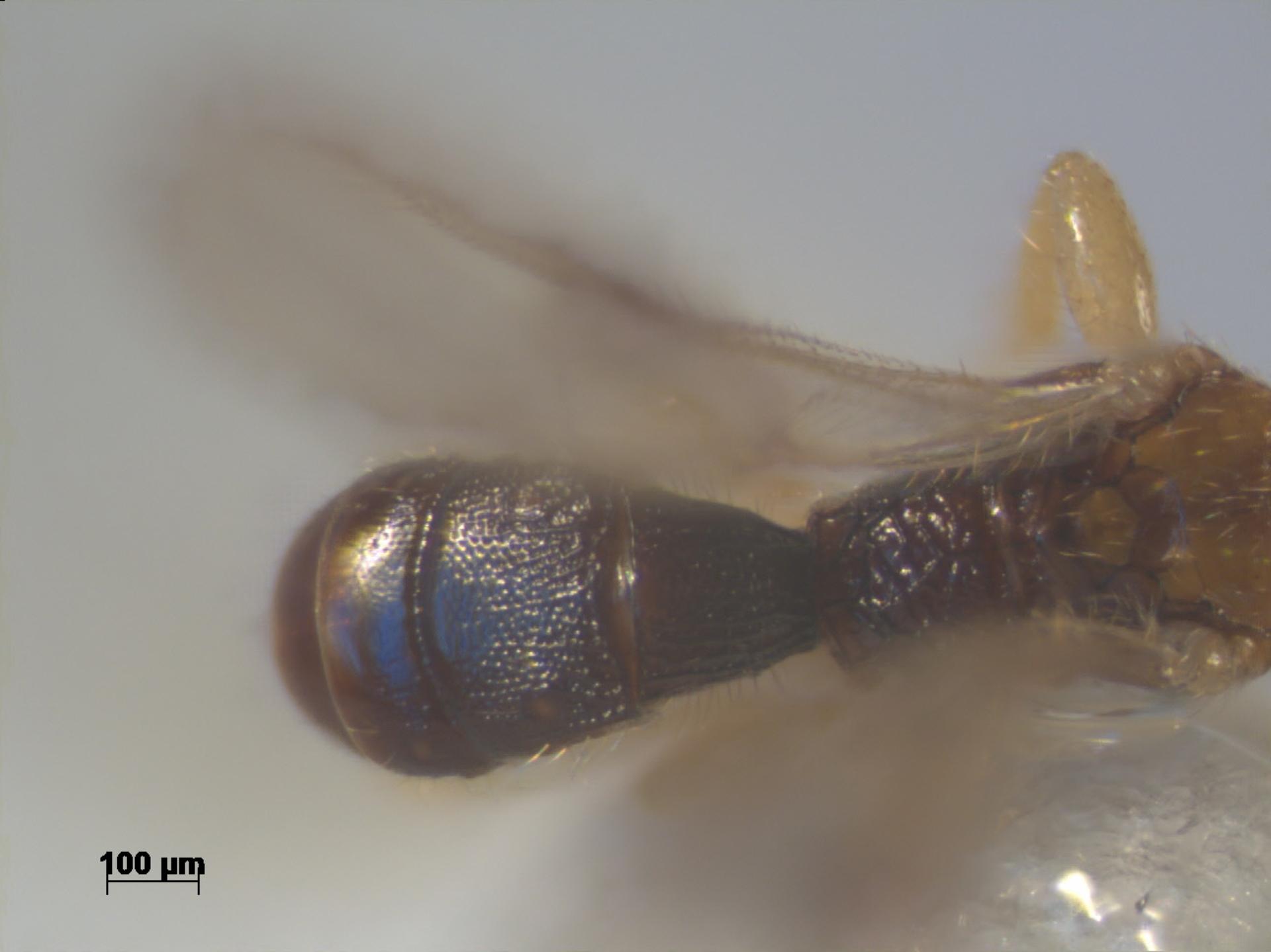 RMNH.INS.1298041 | Conobregma sulaensis van Achterberg, 1995