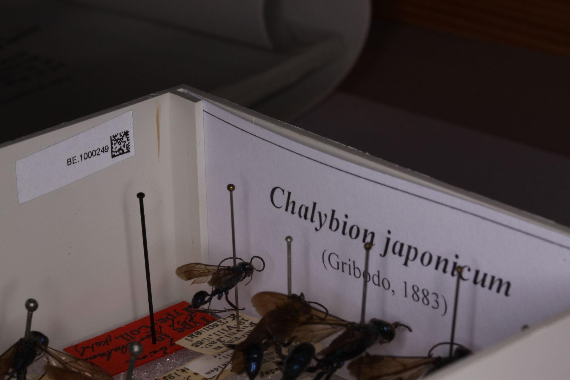 RMNH.INS.591469 | Chalybion japonicum (Gridobo, 1883)