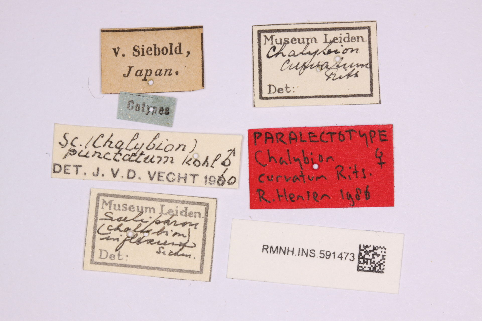 RMNH.INS.591473 | Chalybion japonicum (Gridobo, 1883)