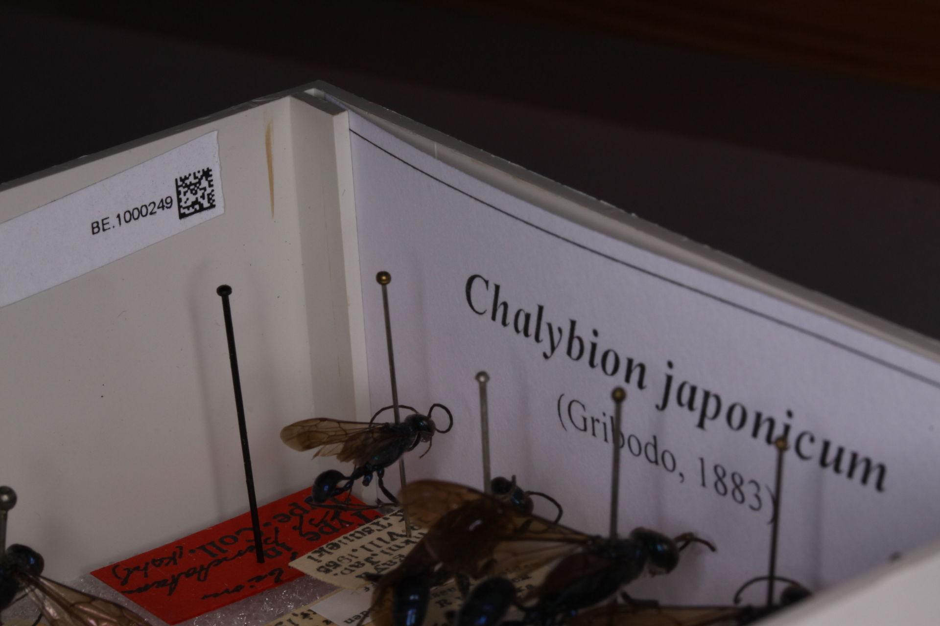 RMNH.INS.591473   Chalybion japonicum (Gridobo, 1883)