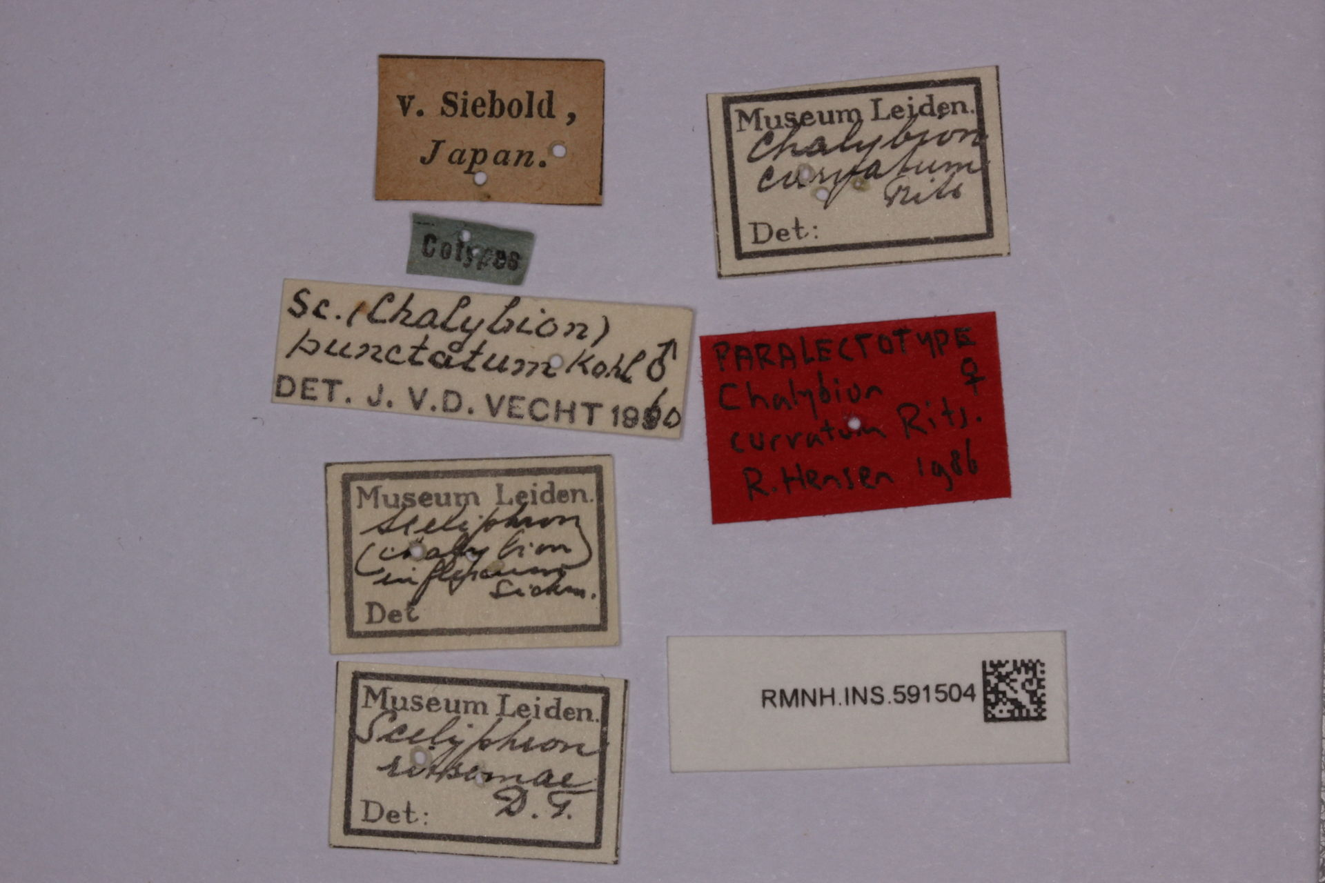 RMNH.INS.591504 | Chalybion japonicum (Gridobo, 1883)