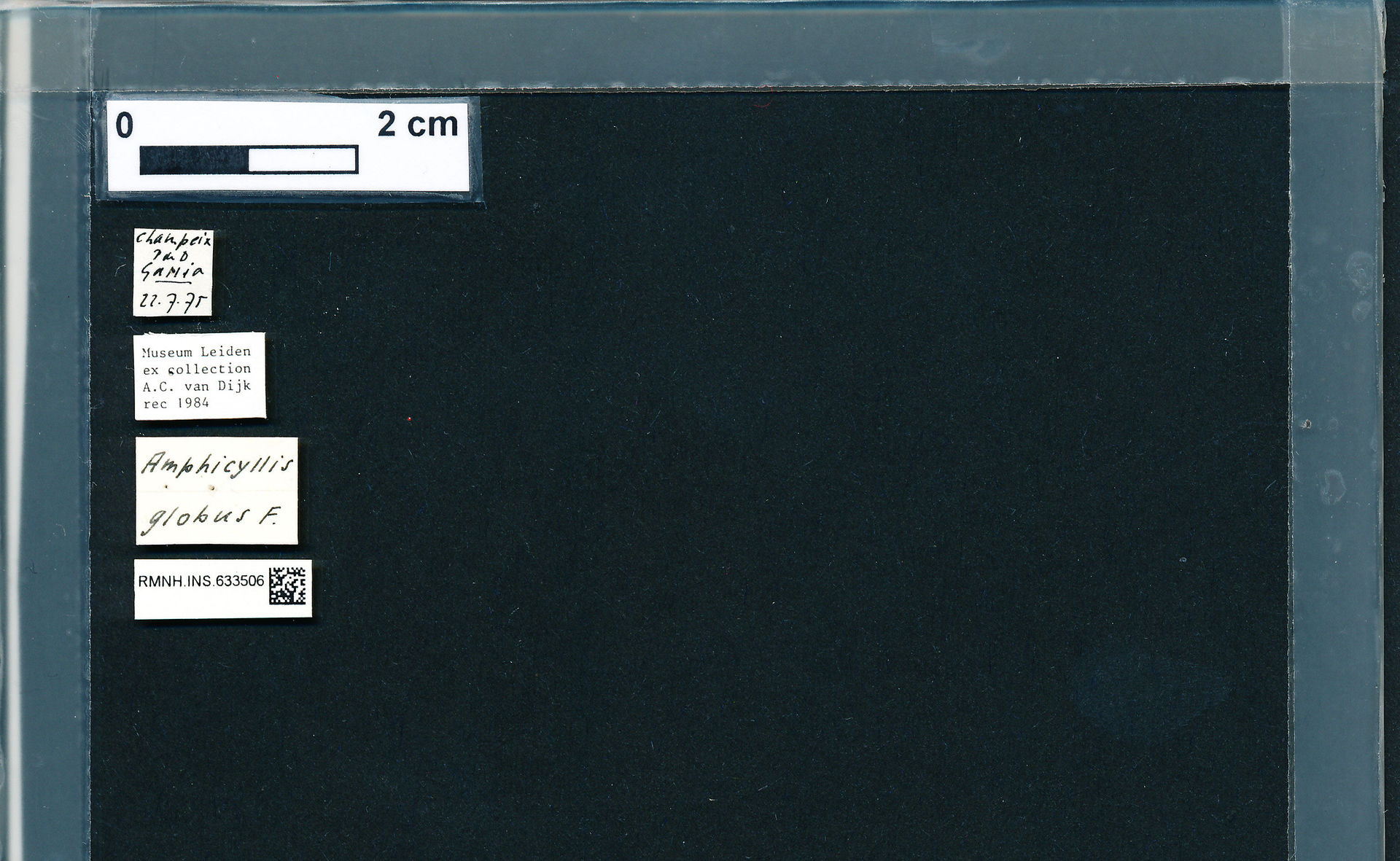 RMNH.INS.633506 | Amphicyllis globus Fab.