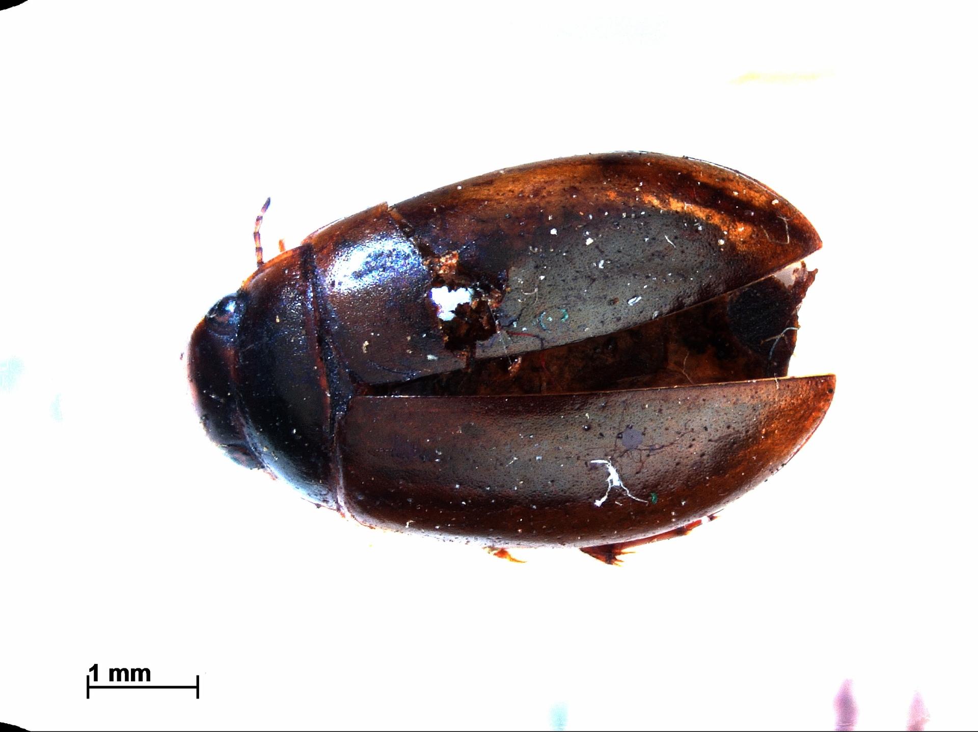 RMNH.INS.741244 | Agabus uliginosus L.