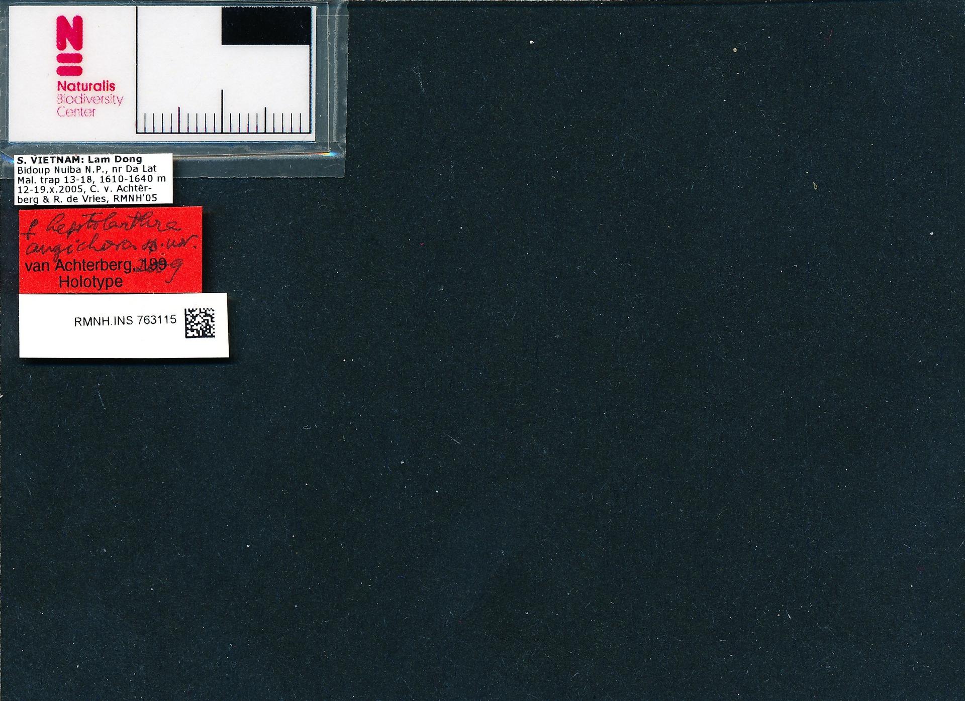 RMNH.INS.763115 | leptolarthra angichora van Achterberg, 2012