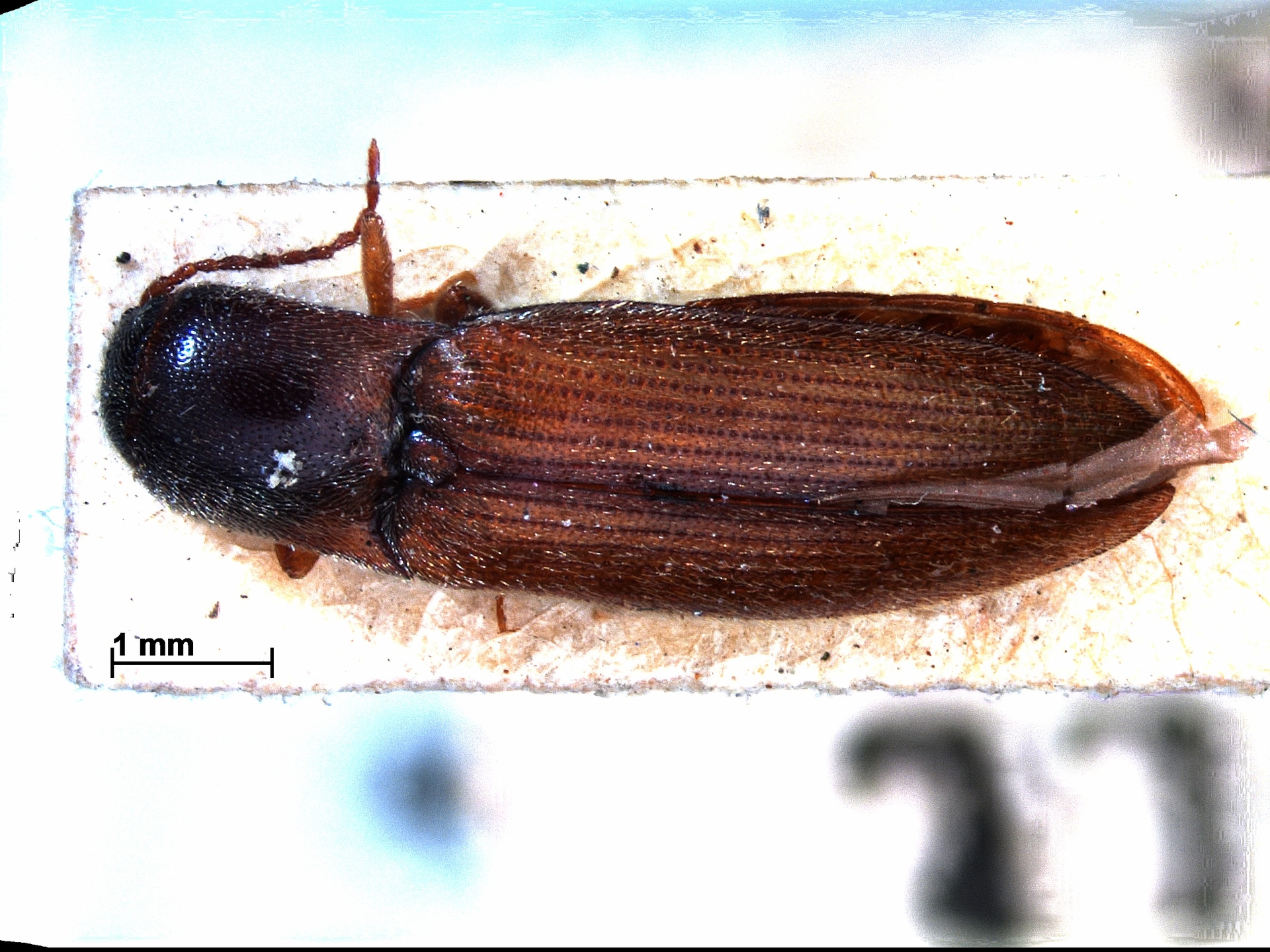 RMNH.INS.770040 | Agriotes acuminatus Steph.