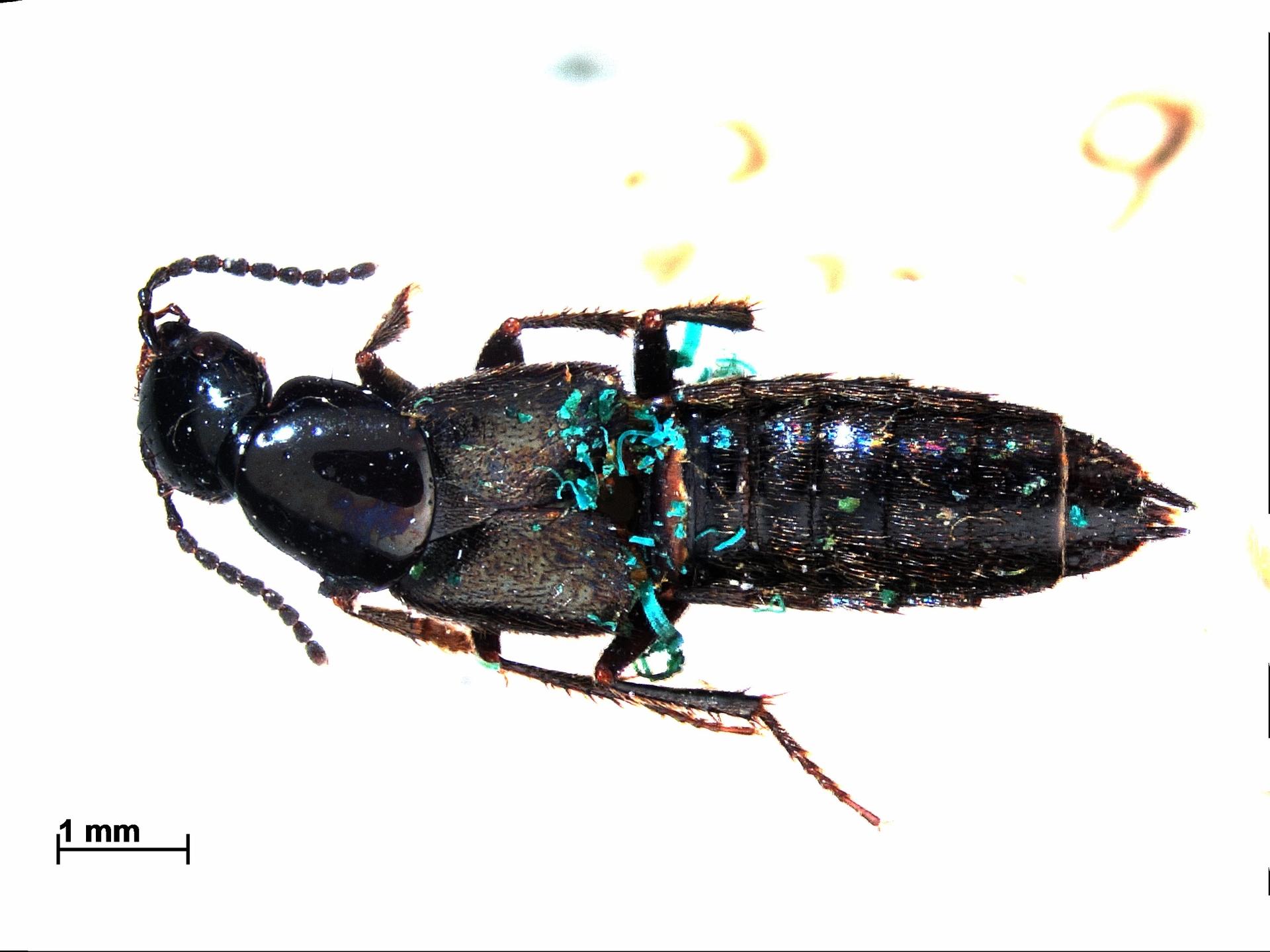 RMNH.INS.790239 | Philonthus atratus Grav.