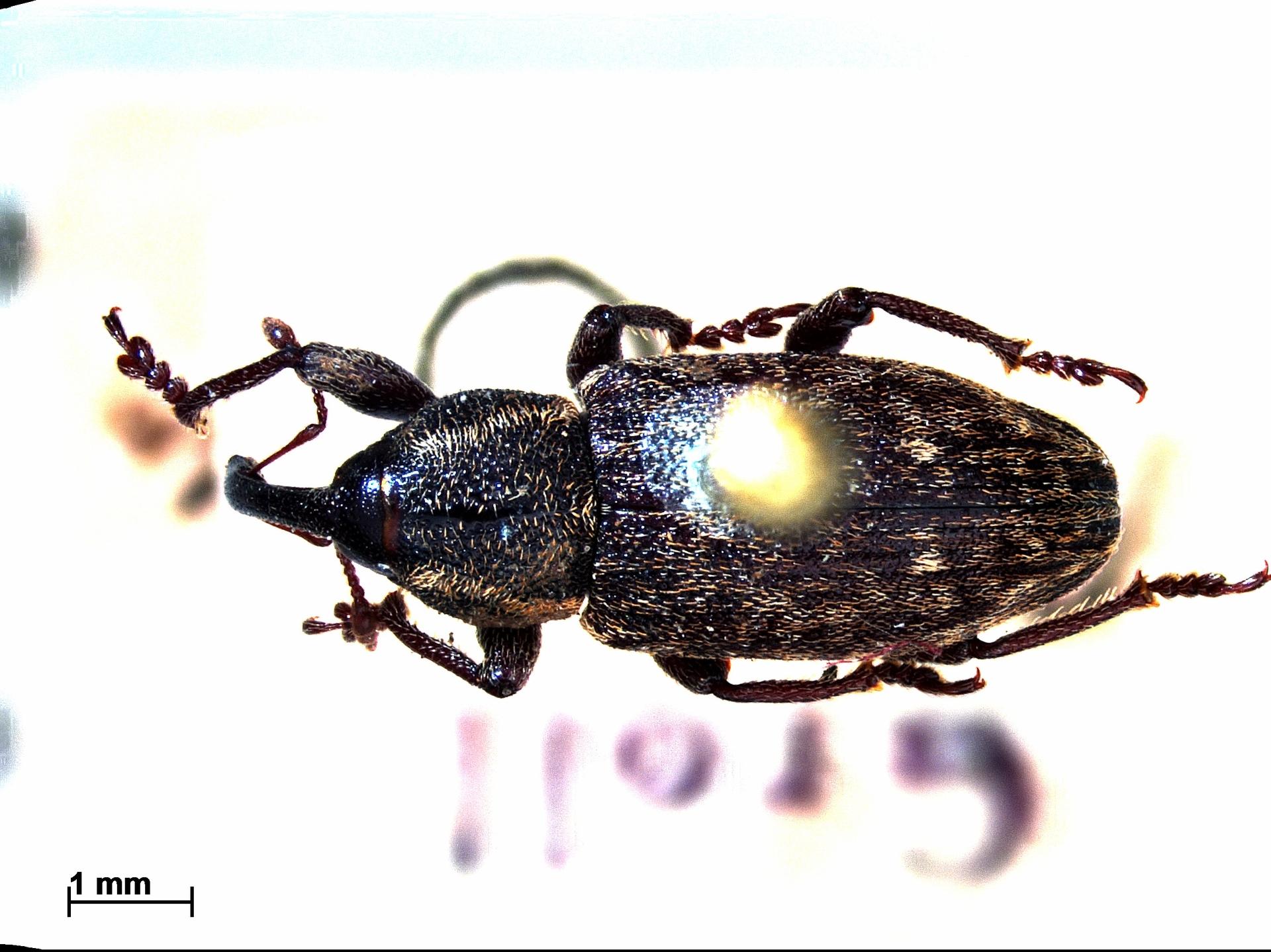 RMNH.INS.796718 | Notaris bimaculatus F.