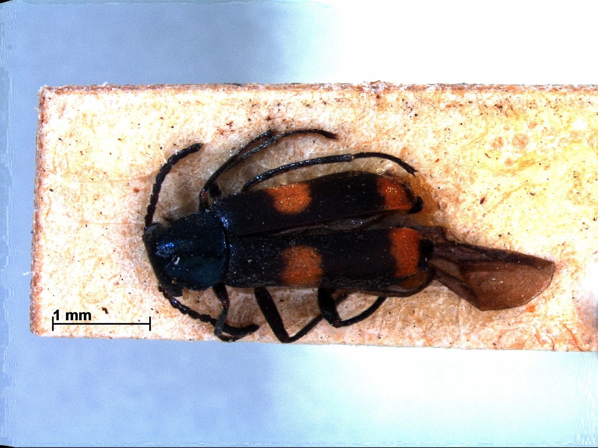 RMNH.INS.804814 | Anthocomus fasciatus L.