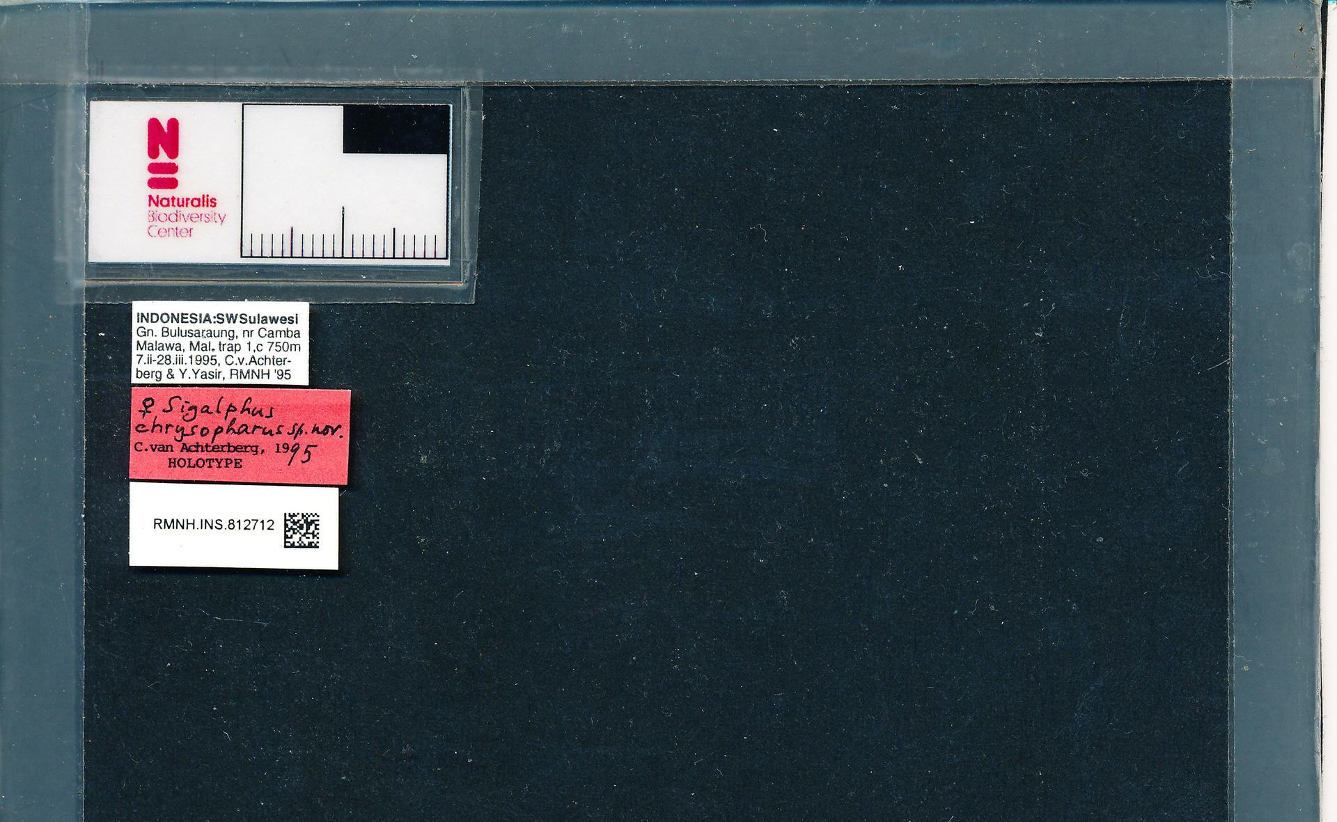 RMNH.INS.812712 | Sigalphus chrysopharus van Achterberg, 1995