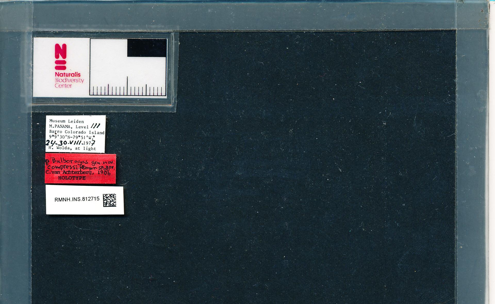 RMNH.INS.812715 | Bulborogas compressifemur van Achterberg, 1988