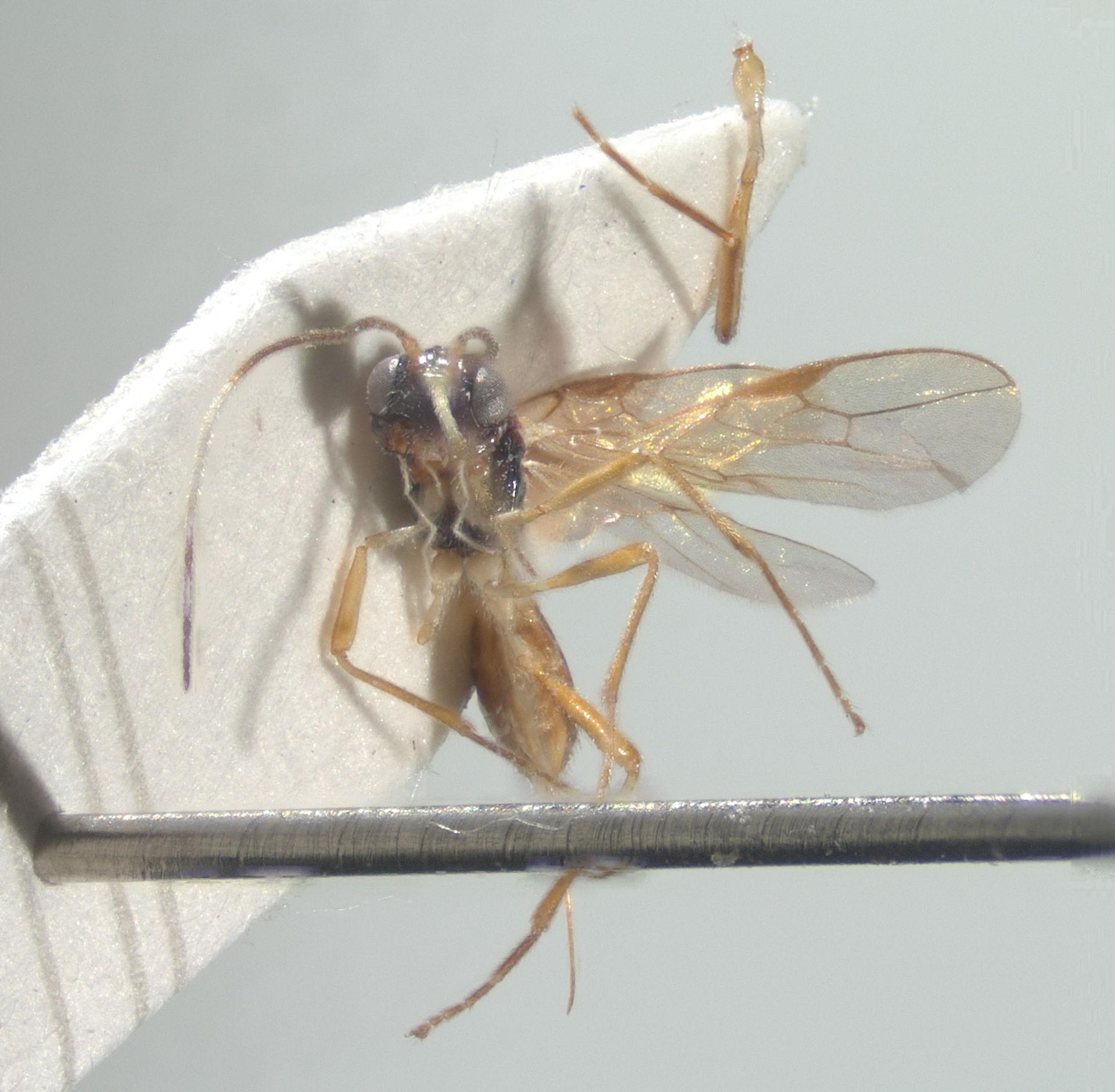 RMNH.INS.812721 | Orientiasta crenulata van Achterberg & Yaakop, 2012