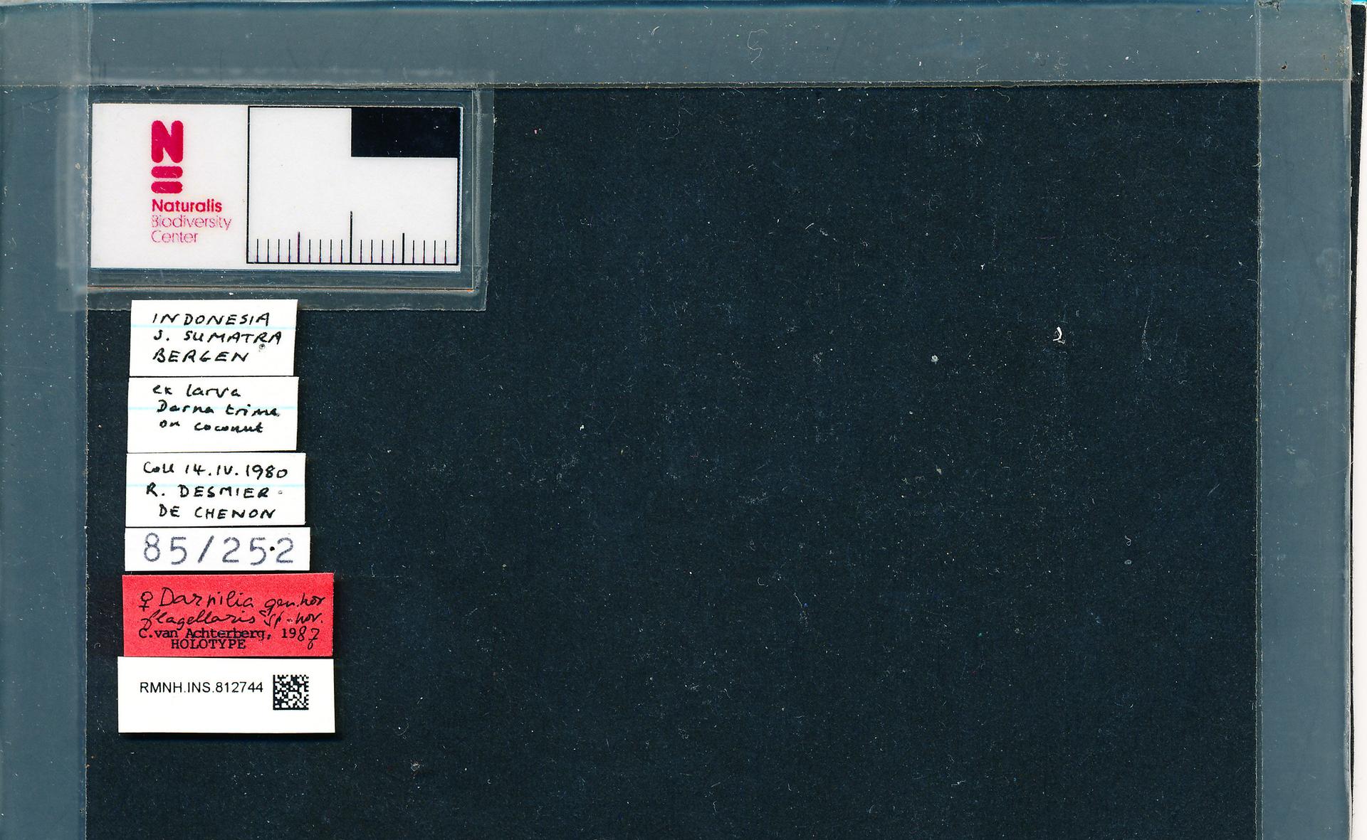 RMNH.INS.812744 | Darnilia flagellaris van Achterberg, 1988