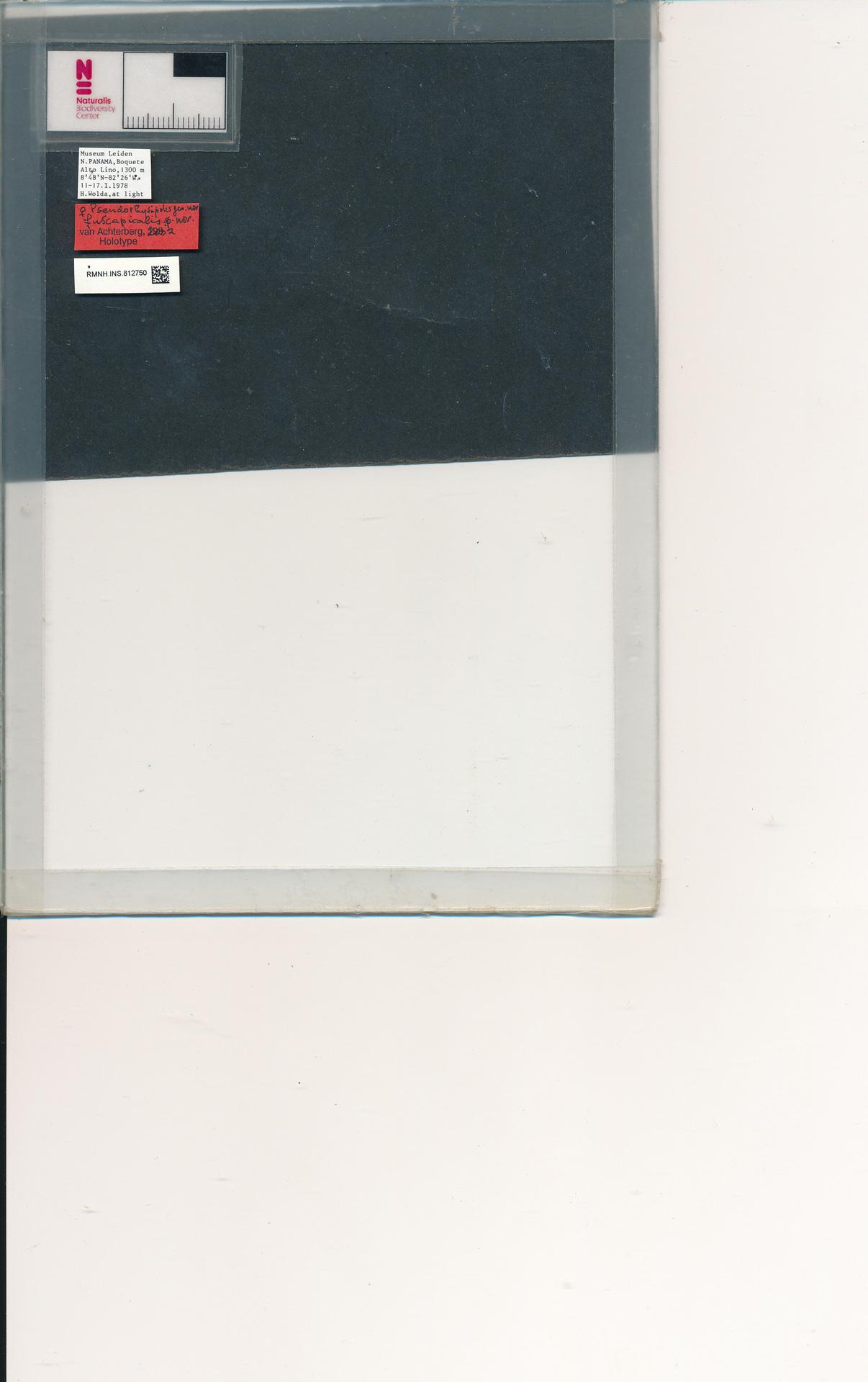 RMNH.INS.812750 | Pseudorhysipolis fuscapicalis van Achterberg, 2002