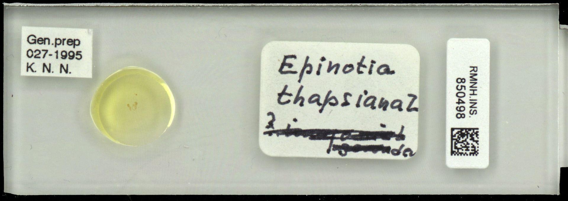 RMNH.INS.850498 | Epinotia thapsiana Z