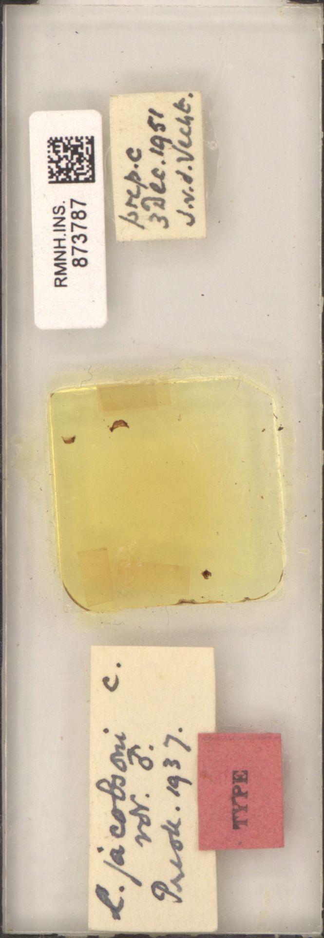 RMNH.INS.873787 | L. jacobsoni