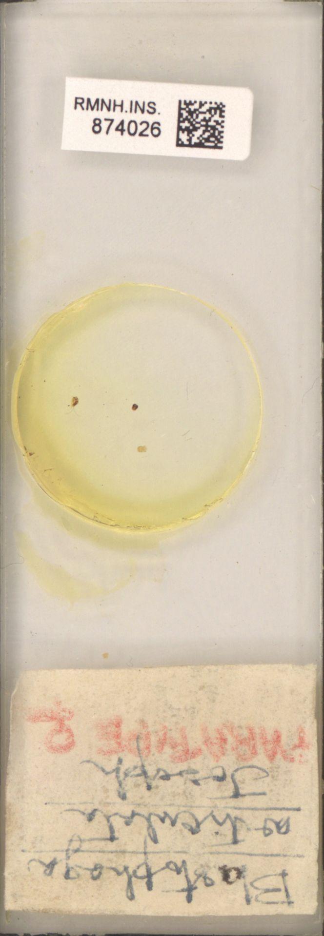 RMNH.INS.874026 | Blastophaga articulata Joseph.