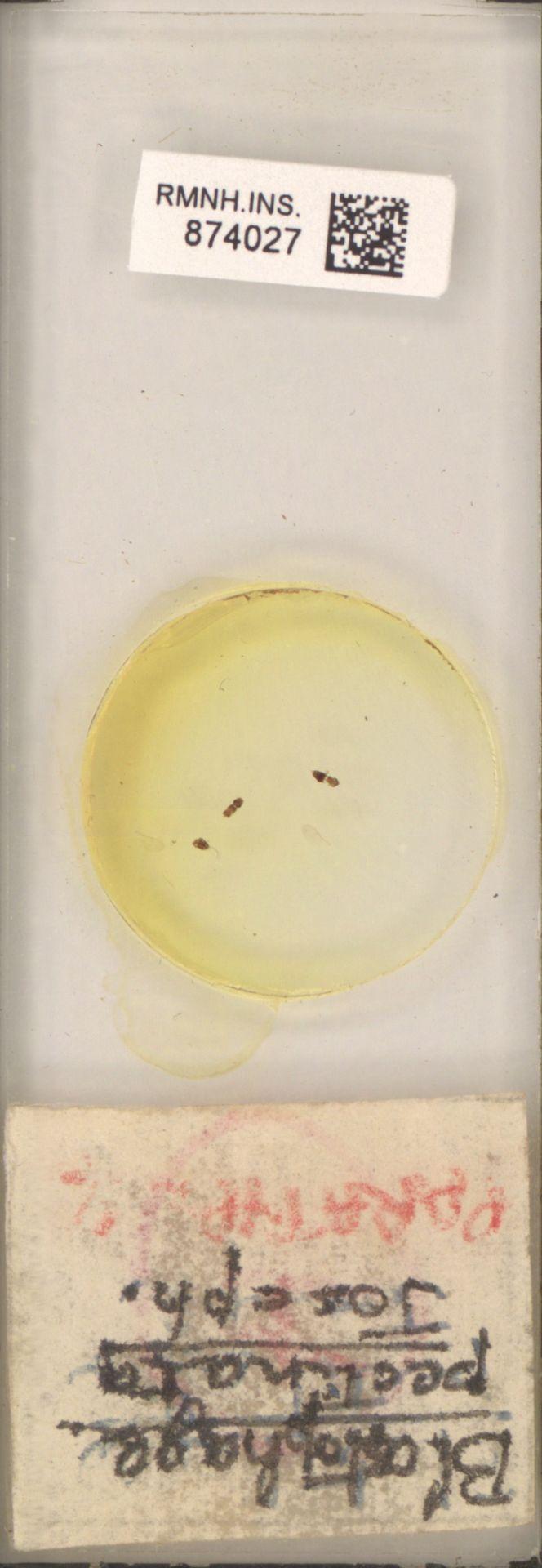 RMNH.INS.874027   Blastophaga pectinata Joseph.