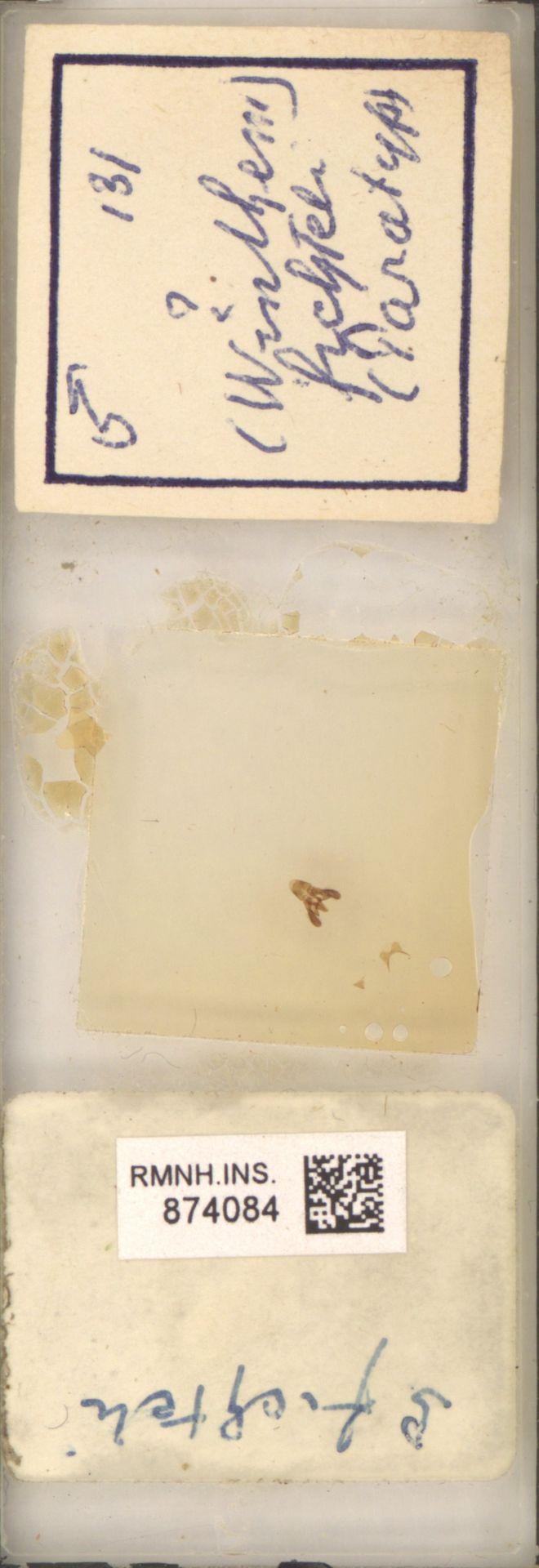 RMNH.INS.874084 | (Wintheni) fichteli
