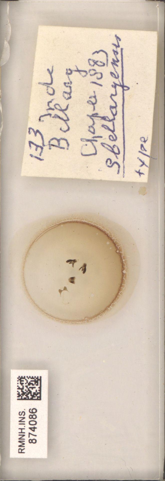 RMNH.INS.874086 | S bellaryensis