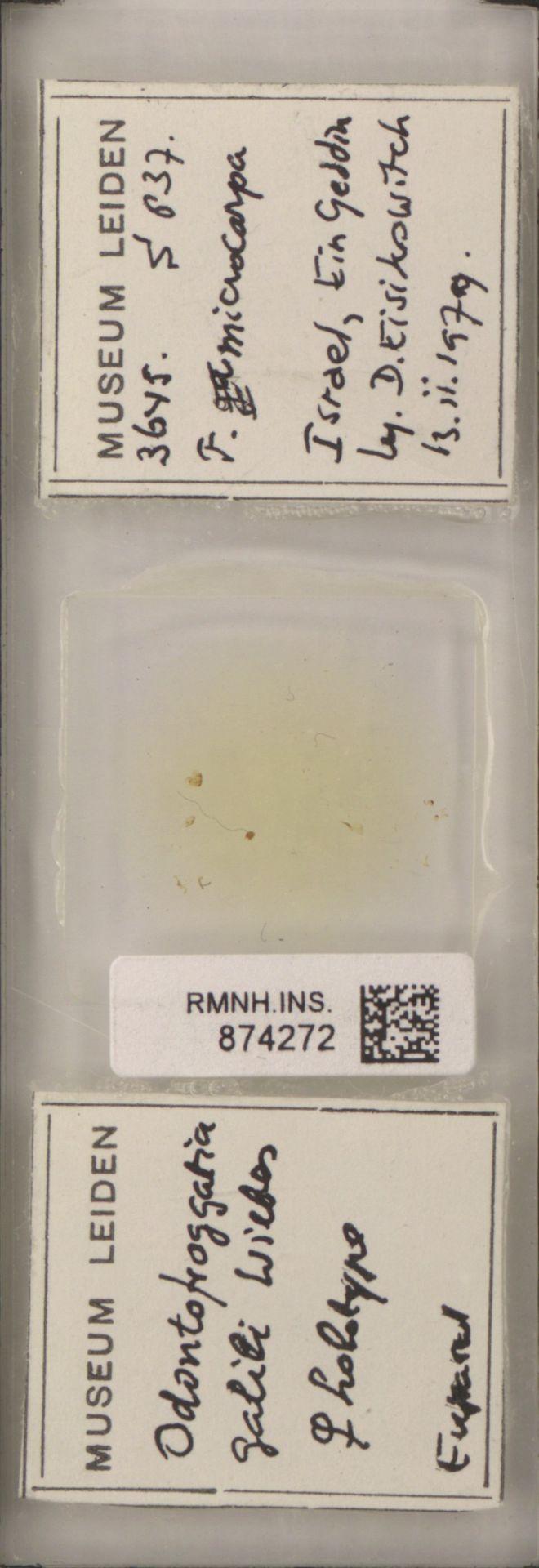 RMNH.INS.874272 | Odontofroggatia galili Wiebes