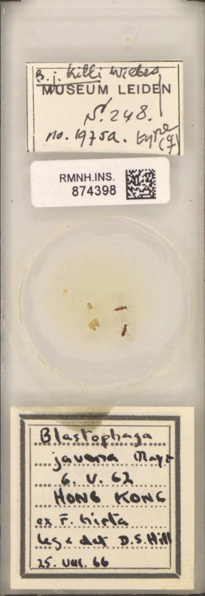 RMNH.INS.874398 | Blastophaga javana Mayr