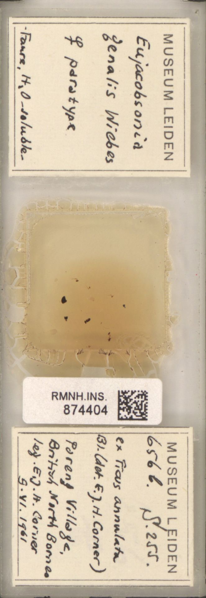 RMNH.INS.874404 | Eujacobsonia genalis Wiebes