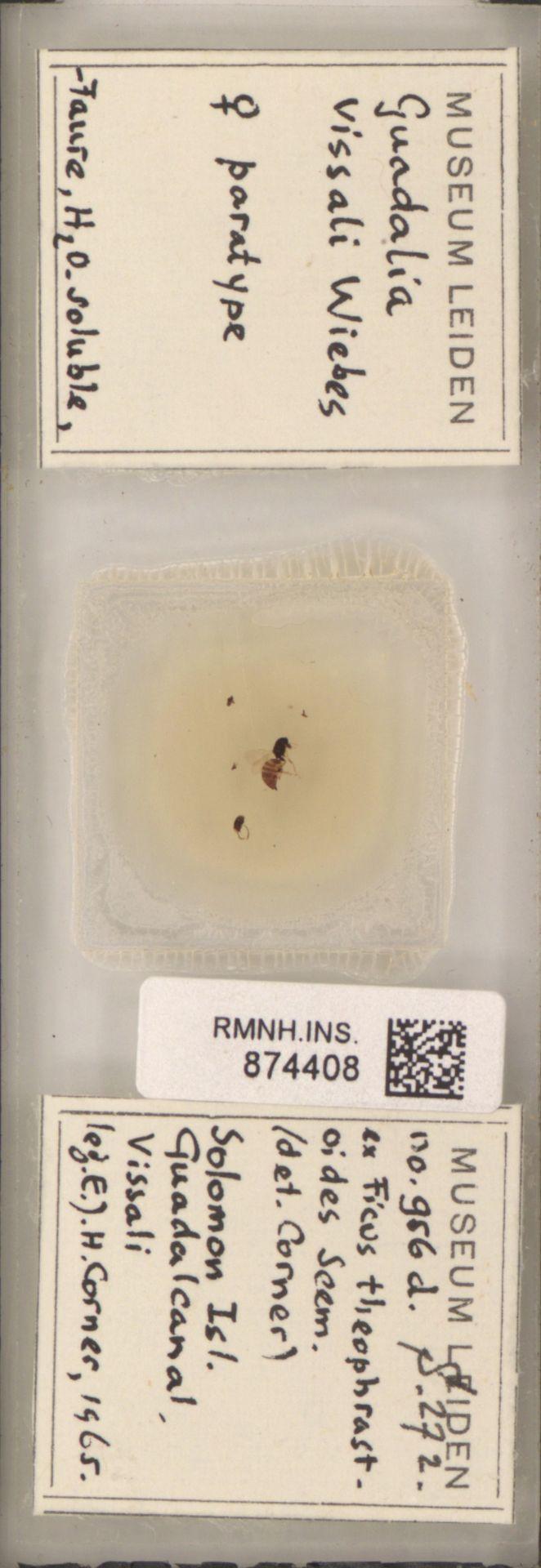 RMNH.INS.874408 | Guadalia vissali Wiebes