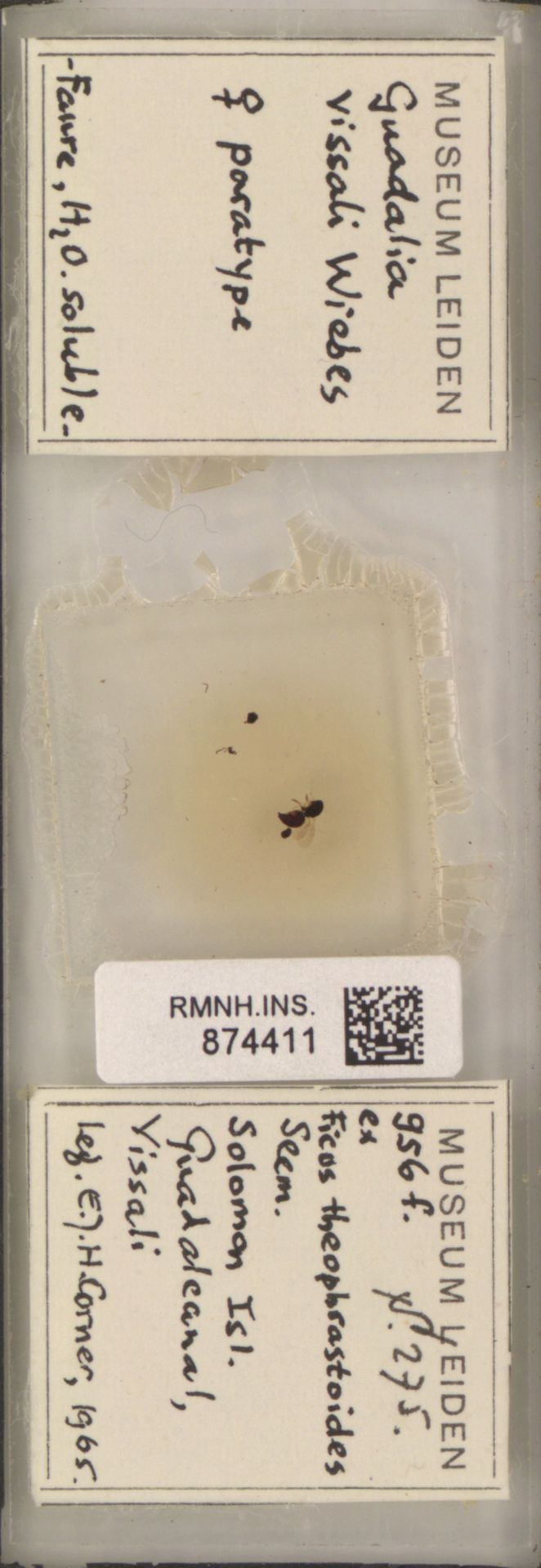 RMNH.INS.874411 | Guadalia vissali Wiebes