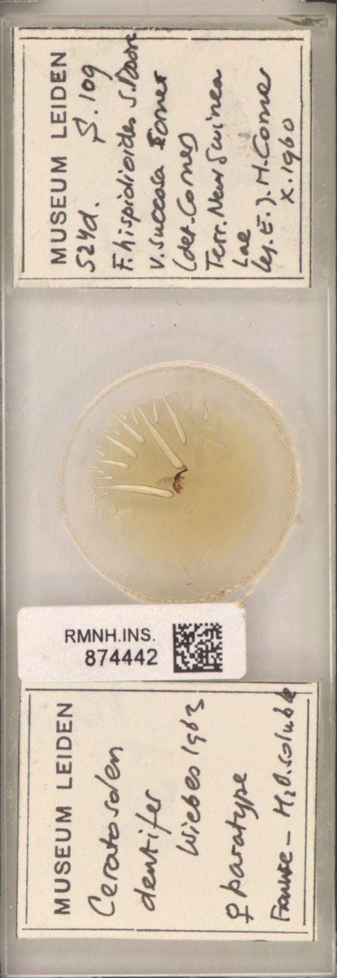 RMNH.INS.874442 | Ceratosolen dentifer Wiebes, 1963