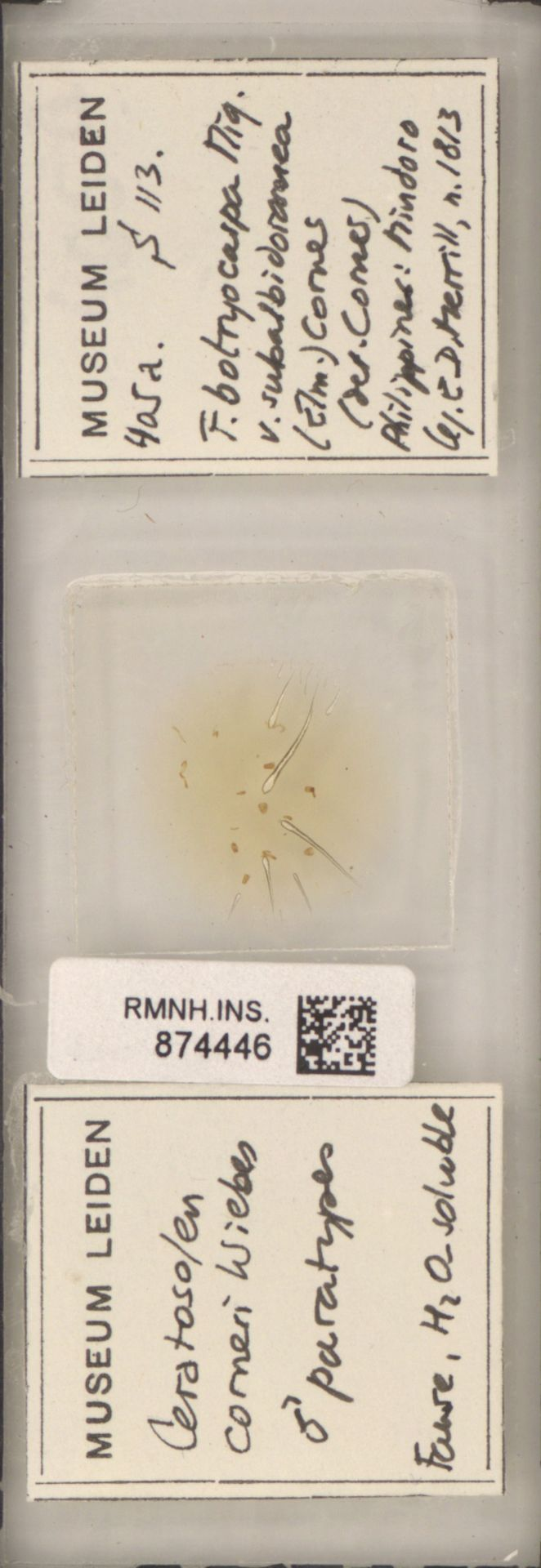 RMNH.INS.874446 | Ceratosolen corneri Wiebes
