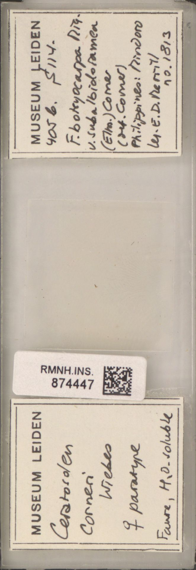 RMNH.INS.874447 | Ceratosolen corneri Wiebes