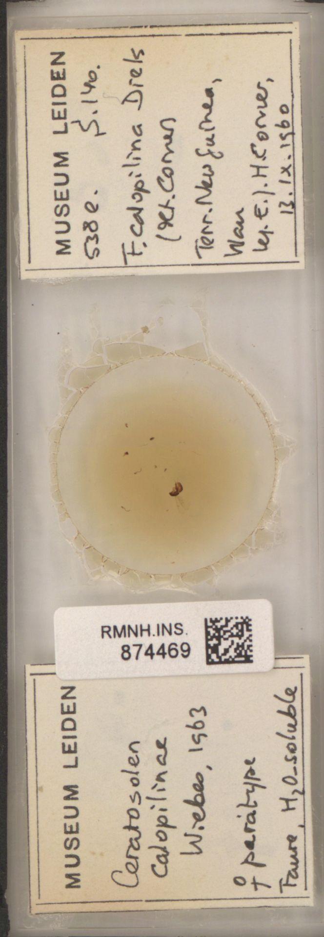 RMNH.INS.874469 | Ceratosolen calopilinae Wiebes, 1963