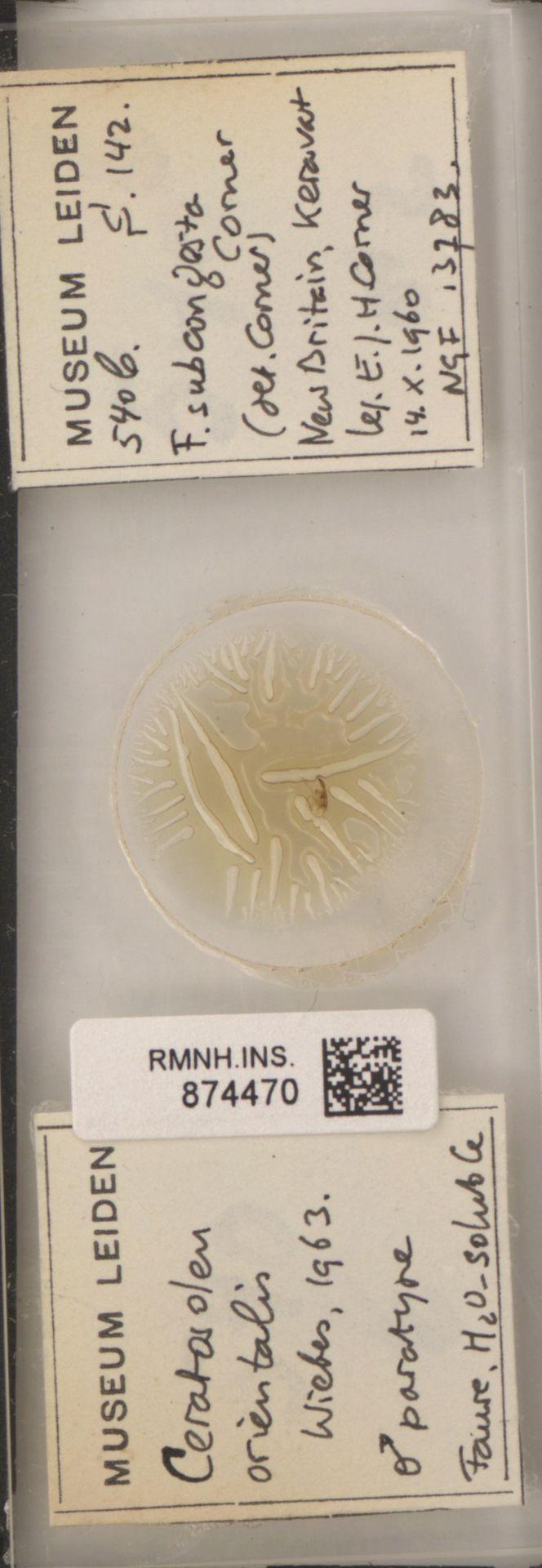 RMNH.INS.874470 | Ceratosolen orientalis Wiebes, 1963