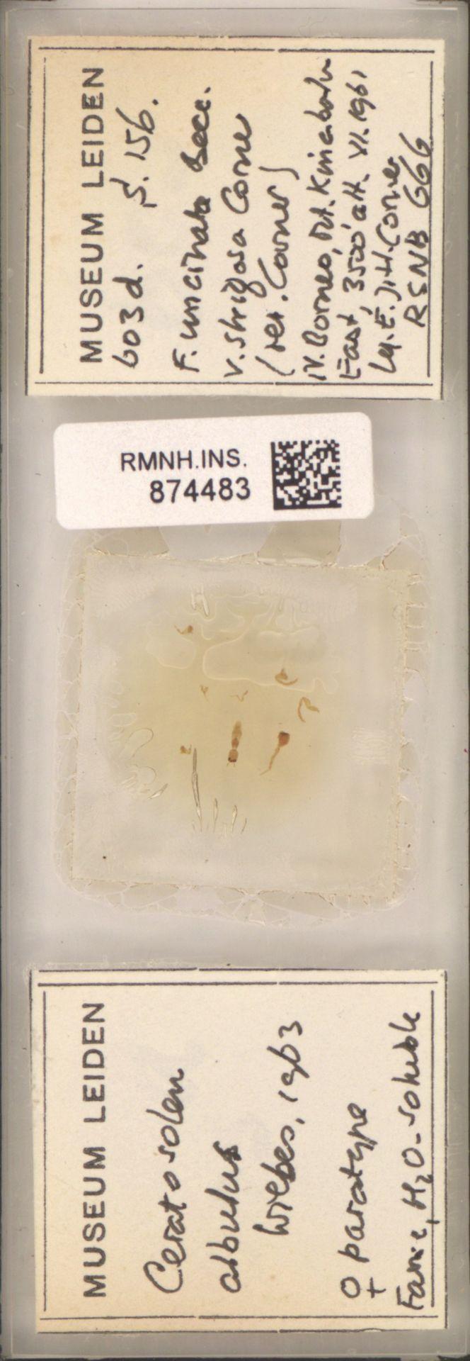 RMNH.INS.874483 | Ceratosolen albulus Wiebes, 1963