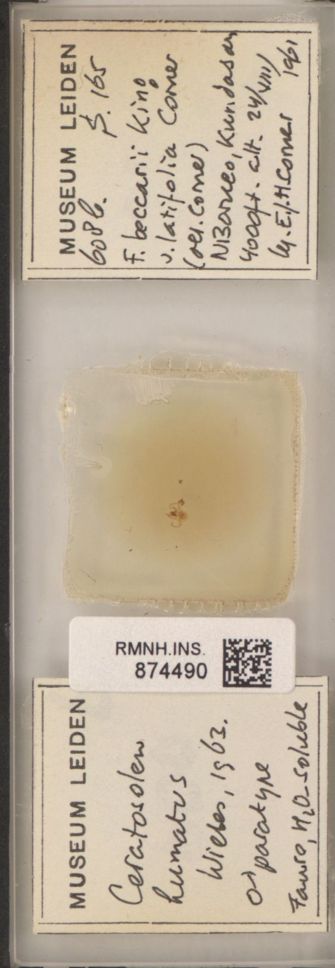 RMNH.INS.874490 | Ceratosolen lumatus Wiebes, 1963
