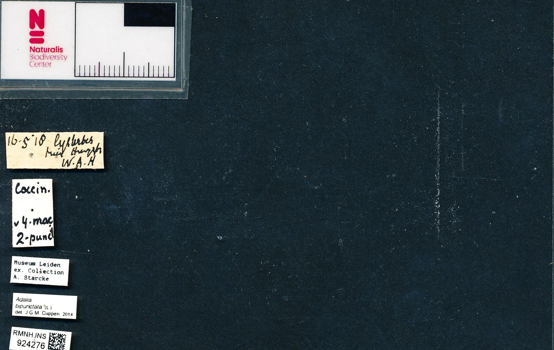 RMNH.INS.924276 | Adalia bipunctata L.