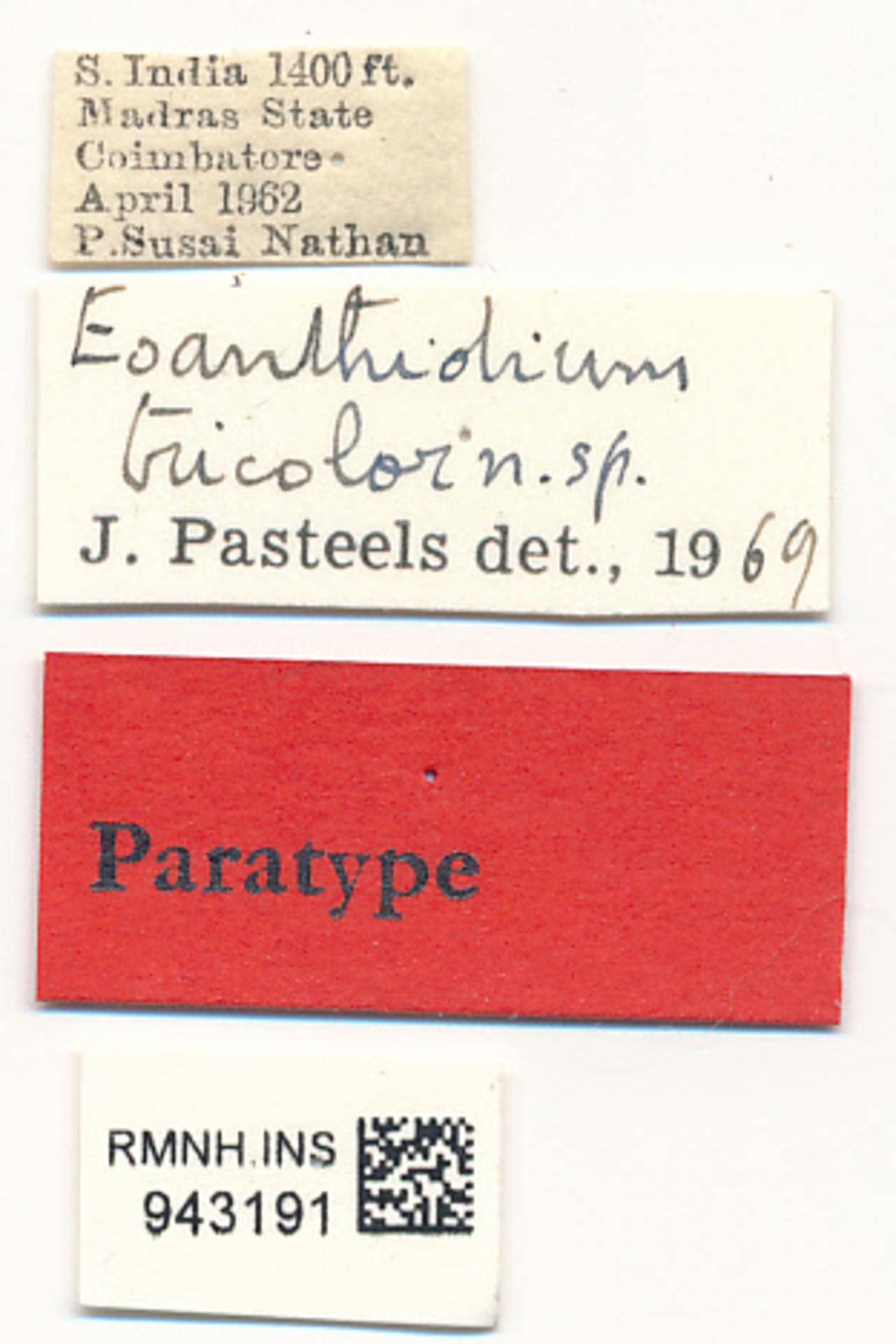 RMNH.INS.943191 | Eoanthidium tricolor Pasteels, 1972