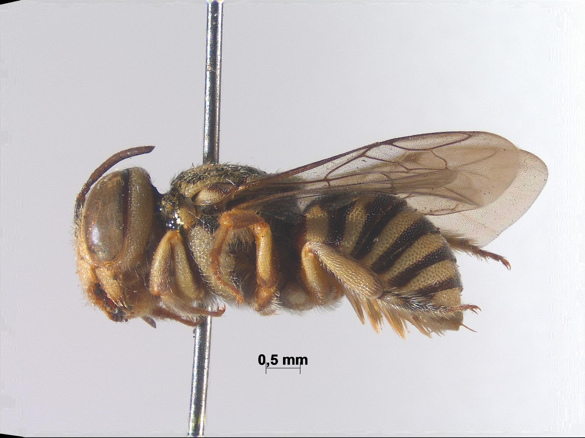 RMNH.INS.943212 | Eoanthidium semicarinatum Pasteels, 1972