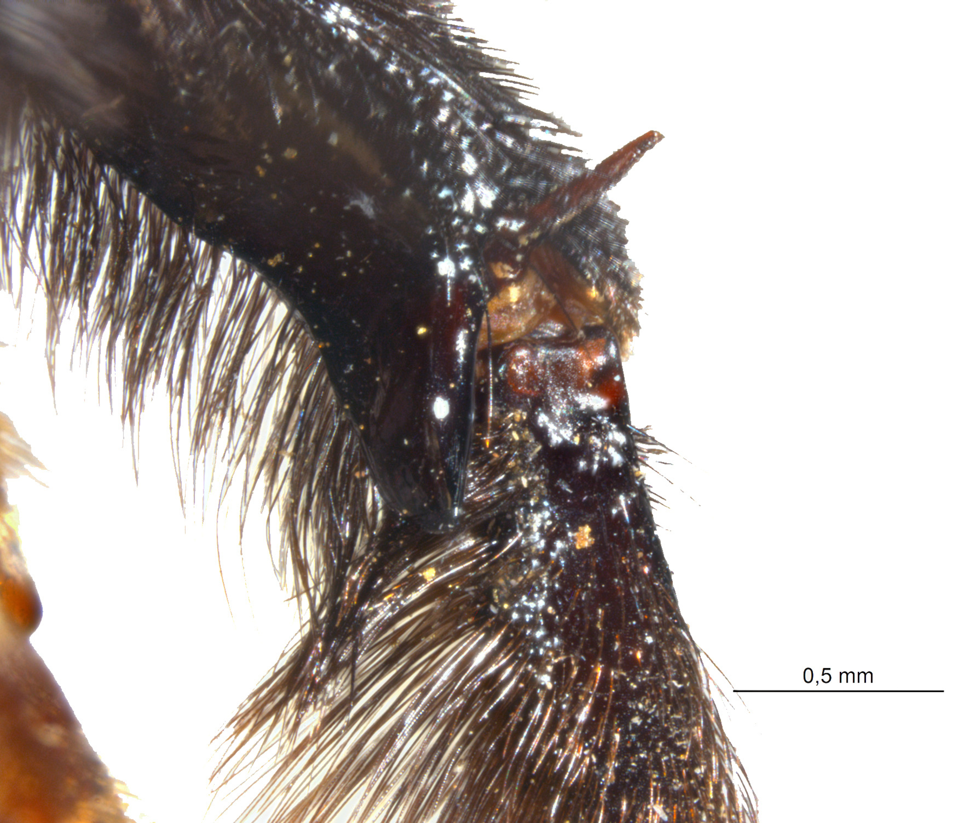 RMNH.INS.943314 | Xylocopa assimilis Ritsema, 1880
