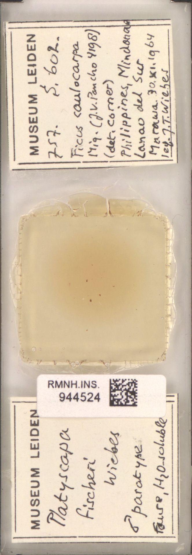 RMNH.INS.944524 | Platyscapa fischeri Wiebes