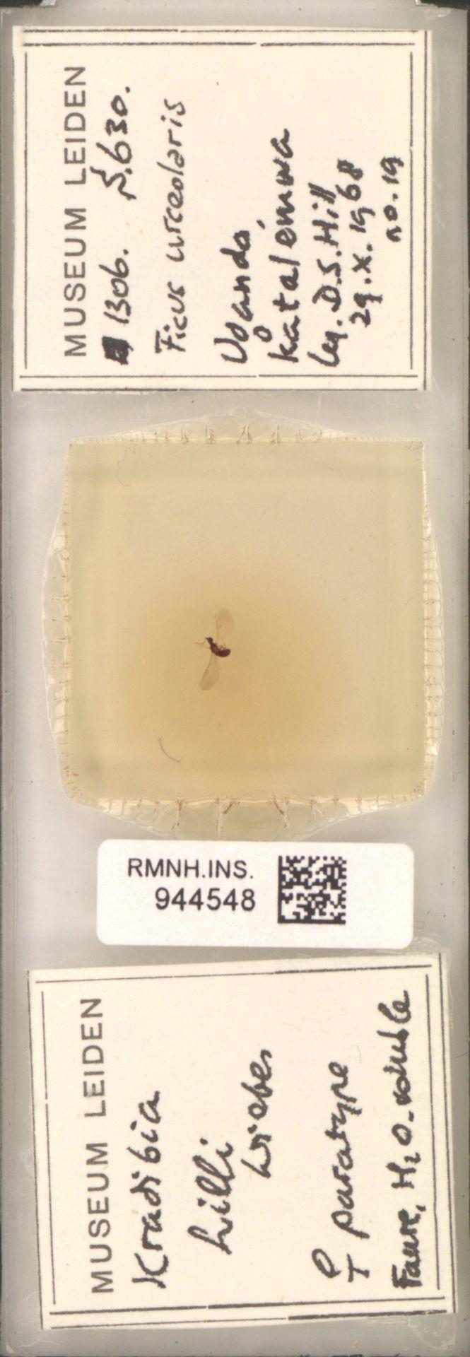 RMNH.INS.944548 | Kradibia hilli Wiebes