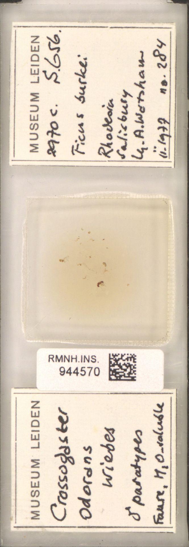 RMNH.INS.944570 | Crossogaster odorans Wiebes