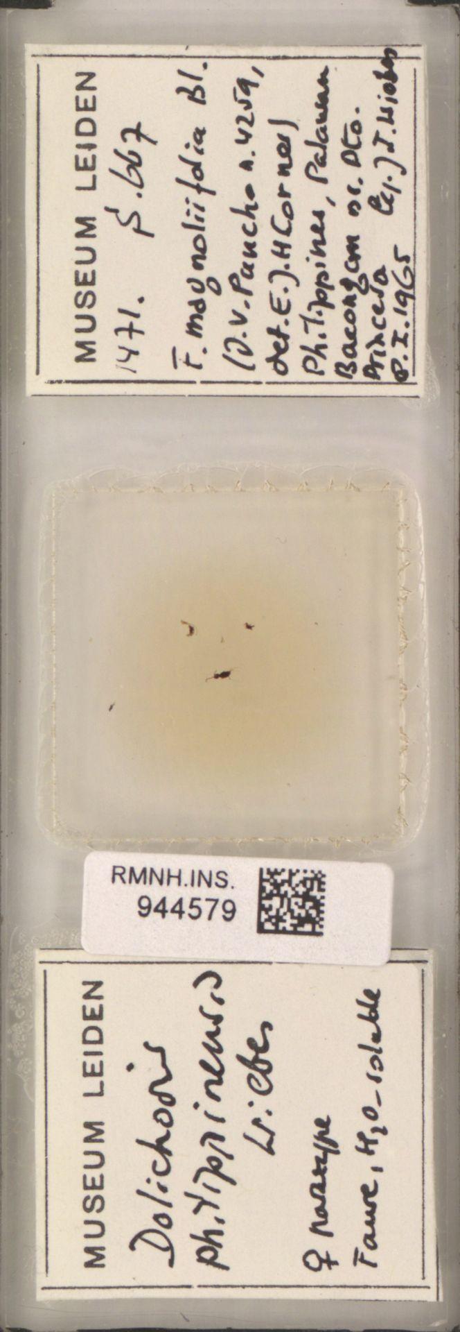 RMNH.INS.944579 | Dolichoris philippinensis Wiebes