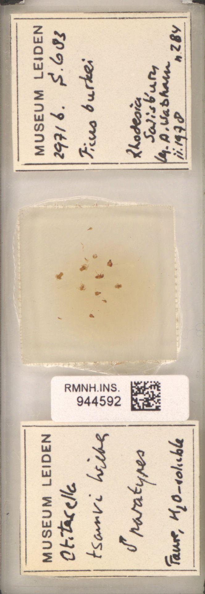 RMNH.INS.944592 | Otitesella tsamvi Wiebes